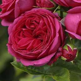 Роза 'Sophie Luise'