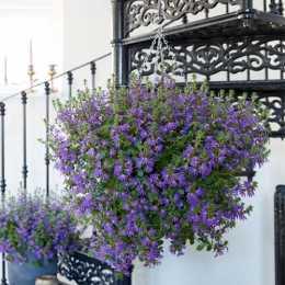 Сцевола Surdiva® Deep Violet Blue