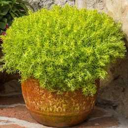 Очиток Lemon Coral®
