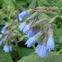 Окопник крупноцветковый 'Hidcote Blue'