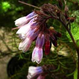 Окопник крупноцветковый 'Miraculum'