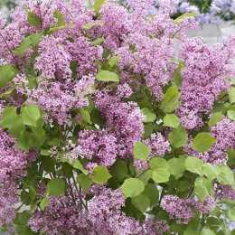 Сирень Мейера 'Flowerfesta Pink'