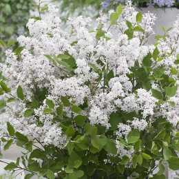 Сирень Мейера 'Flowerfesta White'