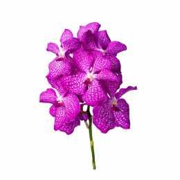 Ванда Kanchana ® Magic Pink