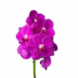 Ванда Nitaya ® Bright Pink