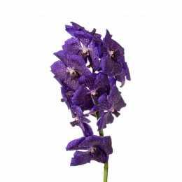 Ванда Nitaya ® Plum Gorgeous