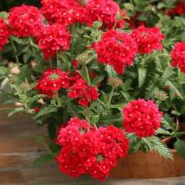 Вербена Temari® Patio Red