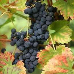 Виноград 'Regent'