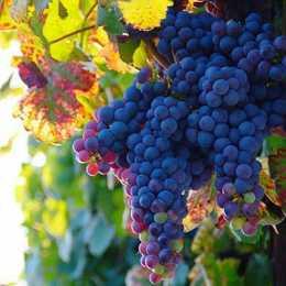 Виноград 'Schiava Grossa'