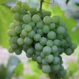 Виноград 'Pinot Blanc'