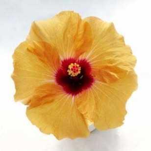 Гибискус HibisQs® LongiFlora™ Adonicus Apricot
