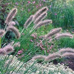 Пеннисетум лисохвостный 'Herbstzauber'