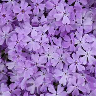 Флокс шиловидный 'Pink Sparkles'
