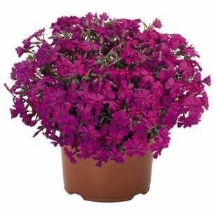 Флокс Spring® Hot Pink