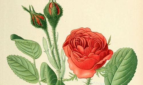 Розы Бурсо
