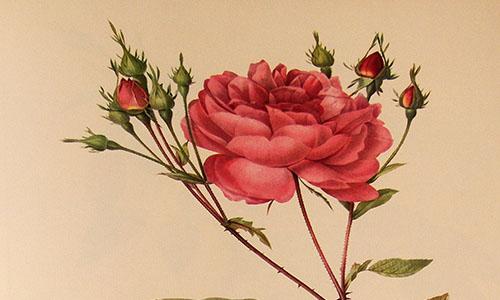 Центифольные розы (столепестковые розы)
