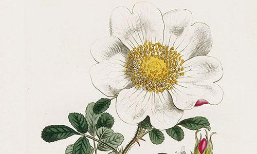 Гибриды розы Брактиата