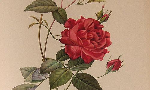 Гибриды розы Китайской