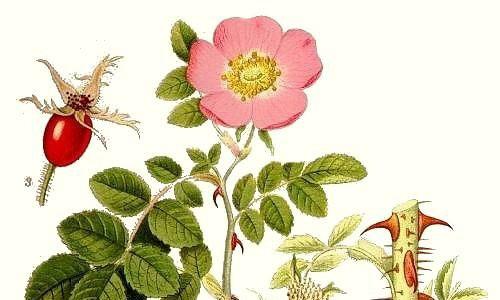 Гибриды розы Эглантерия