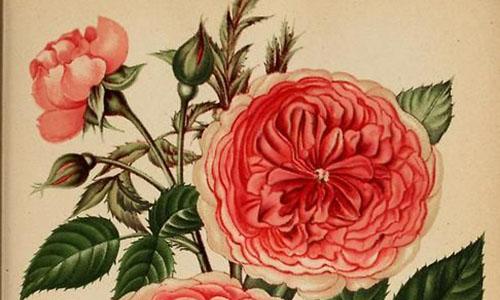 Гибриды розы мультифлора
