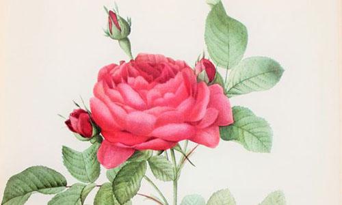 Гибриды розы Фетида, или лютеа