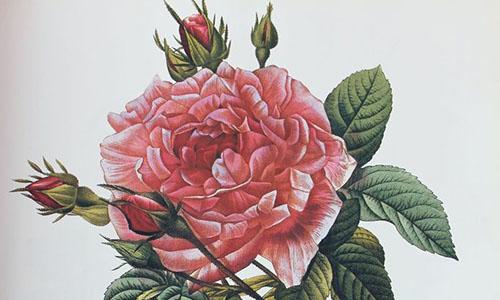Гибриды розы Галлика