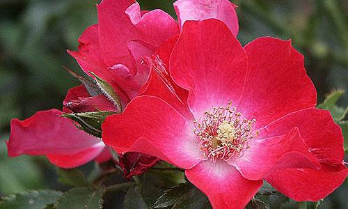Гибриды розы Кордеса