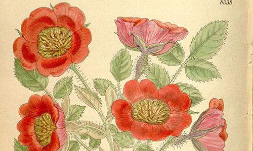 Гибриды розы Мойези