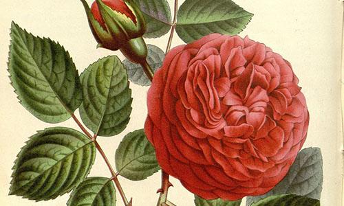 Гибриды розы ремонтантной