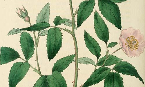 Гибриды розы Сетигера