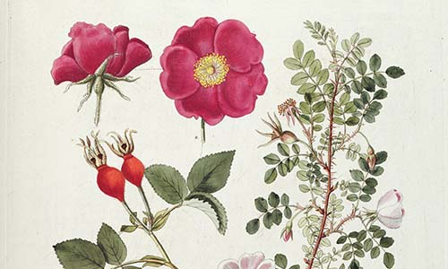Гибриды розы Спинозиссима