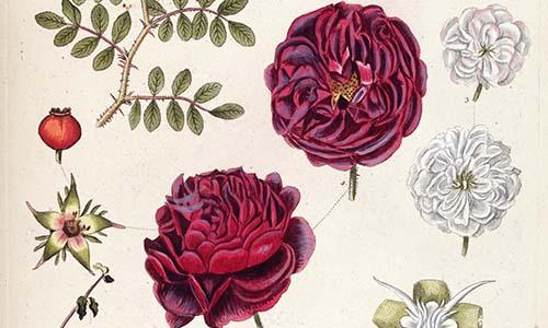 Гибриды розы Мускусной