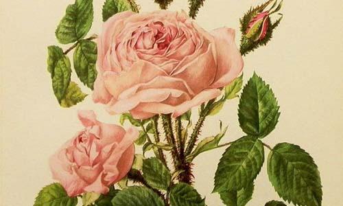 Розы Моховые и их клаймеры