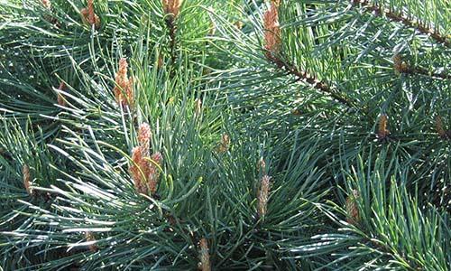 Сосна (Pinus)