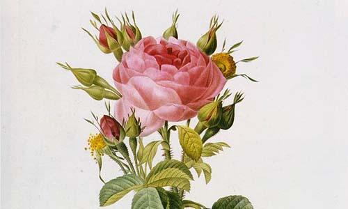 Портландские розы
