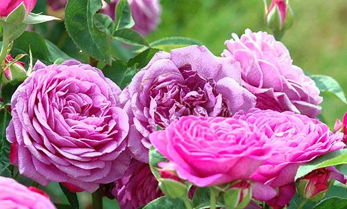 Розы Минифлора, или Патио
