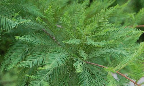 Таксодиум (Taxodium)
