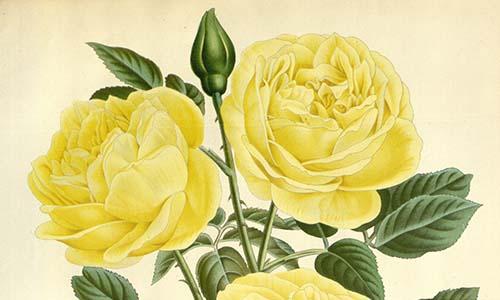 Чайные розы и их клаймеры