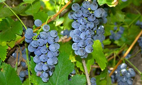 Виноград (Vitis)