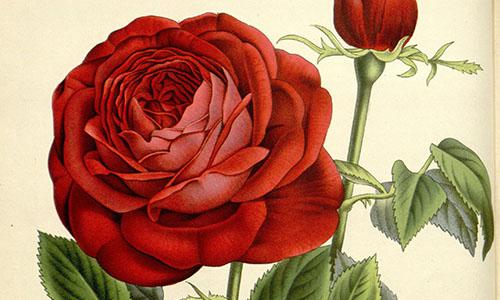 Розы Бурбонские