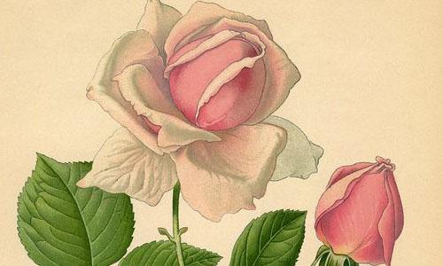 Чайно-гибридные розы и их клаймеры
