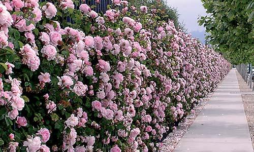Розы для высокой изгороди