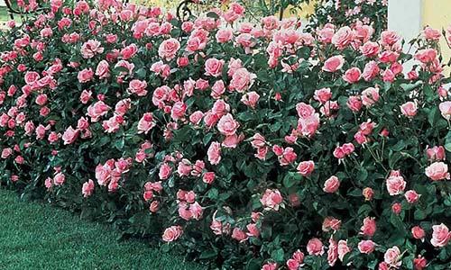 Розы для изгороди средней высоты