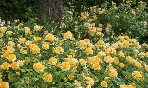Розы для низкой изгороди
