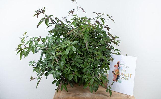 гибрид прутняк трёхлистный 'Purpurea' x прутняк обыкновенный First Editions ® 'Flip Side'