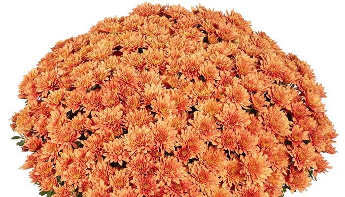 Садовая хризантема Homerun