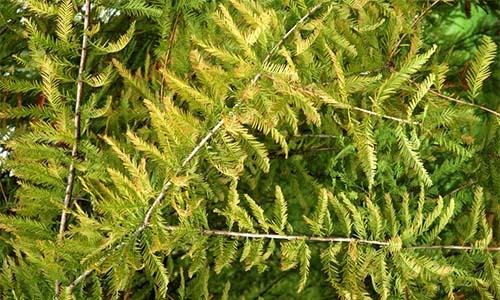 Секвойя (Sequoia)