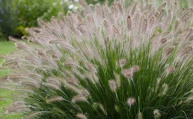 Пеннисетум (Pennisetum)