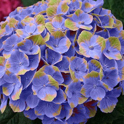 Гортензия крупнолистная Magical® Coral Blue/Pink