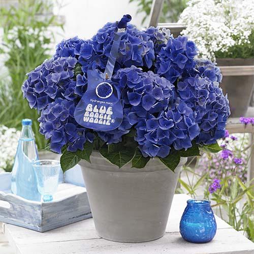 Гортензия крупнолистная Blue Boogiewoogie